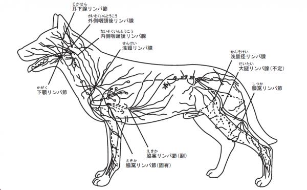 犬のリンパ系
