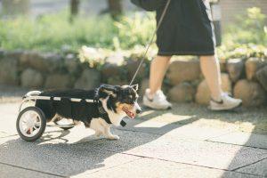 シニア犬車いすお散歩